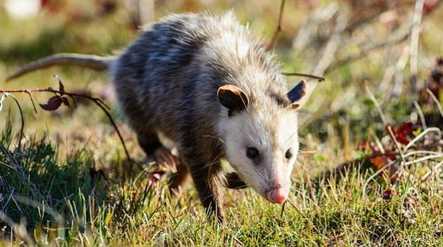 Top four ways that of Preventing eutherian mammal Infestation in Your Home in American state